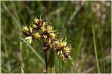 gewone Veldbies - Luzula campestris