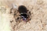 Oeverloper - Nebria brevicollis