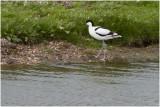 Kluut - Recurvirostra avosetta