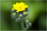 Weide Havikskruid - Hieracium caespitosum