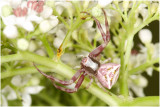 paarse Krabspin - Thomisidae soort