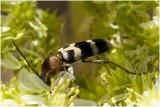 geen Ned naam - chlorophorus trifasciatus