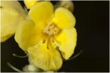 Stalkaars - Verbascum densiflorum