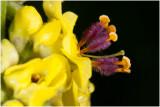 Zwarte toorts  - Verbascum nigrum