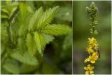 gewone Agrimonie - Agrimonia eupatoria