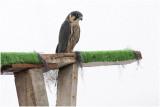 Boomvalk - Falco subbuteo