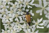 Zwartstip Smalboktor - Corymbia fulva