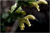 Kleverige Salie - Salvia glutinosa