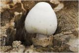 Zijdeachtige Beurszwam - Volvariella bombycina