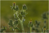 Dubbelkelk - Picris echioides