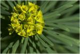 CIpreswolfsmelk - Euphorbia cyparissias