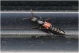 Kortschildkeversoort - Staphylinidae