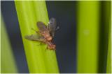 Slakkendoder - Tetanocera plebeja