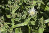 IJskruid - Mesembryanthemum crystallinum
