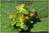 Hertshooi - Sint Janskruid - Hypericum inodorum