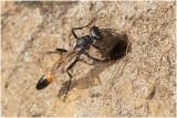 kleine Rupsendoder - Ammophila campestris
