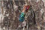 gewone Goudwesp - Chrysis ignita