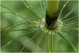 Heermoes - Equisetum arvense