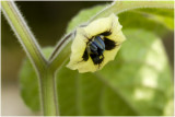 Goudbes - Physalis peruviana