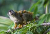 Nursing Squirrel monkey.jpg