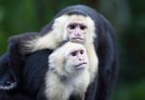Capuchin pals copy.jpg