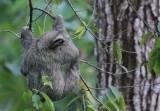 Three-toed Sloth near pool II copy.jpg