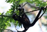 Young Howler monkey - Corcovado NP copy.jpg