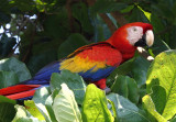 Scarlet MaCaw - Corcovado NP II copy.jpg