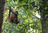 Spider monkey in canopy above Playa Guapil.jpg