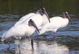 Wood Storks copy.jpg