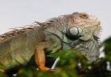 Male Green Iguana copy.jpg