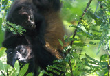 Mother howler and baby copy.jpg