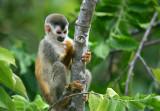 Squirrel Monkey checking nails.jpg