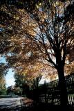 Fall in the park, Queen Street, Toronto