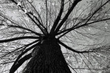 big mama tree