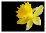 yellow daffodil on black