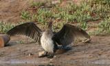 Reed Cormorant - Afrikaanse Dwergaalscholver