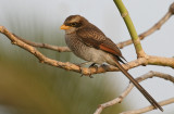 Yellow-billed Shrike - Geelsnavelklauwier