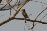 Pearl-spotted Owlet - Geparelde Dwerguil
