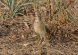 Plain-backed Pipit - Bruinrugpieper