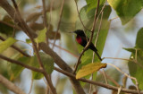 Scarlet-chested Sunbird - Roodborsthoningzuiger