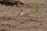 Black-headed Plover - Zwartkopkievit