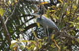 Black-headed Heron - Zwartkopreiger