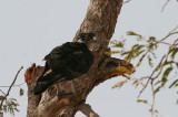 African Hawk-eagle - Afrikaanse Havikarend