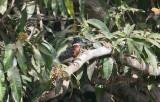 Giant Kingfisher- Afrikaanse Reuzenijsvogel