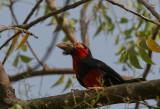 Bearded Barbet - Zwartbandbaardvogel