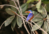 Malachite Kingfisher- Malachiet IJsvogel