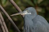 Western Reef Heron - Westelijke Rifreiger