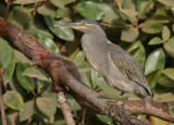 Striated Heron - Mangrovereiger