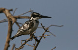 Pied Kingfisher - Bonte IJsvogel